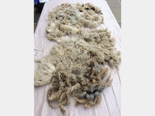 2018 Raw Boreray Fleece (Shearling Ewe)